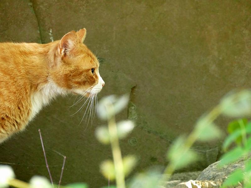 古い神社の茶白猫1