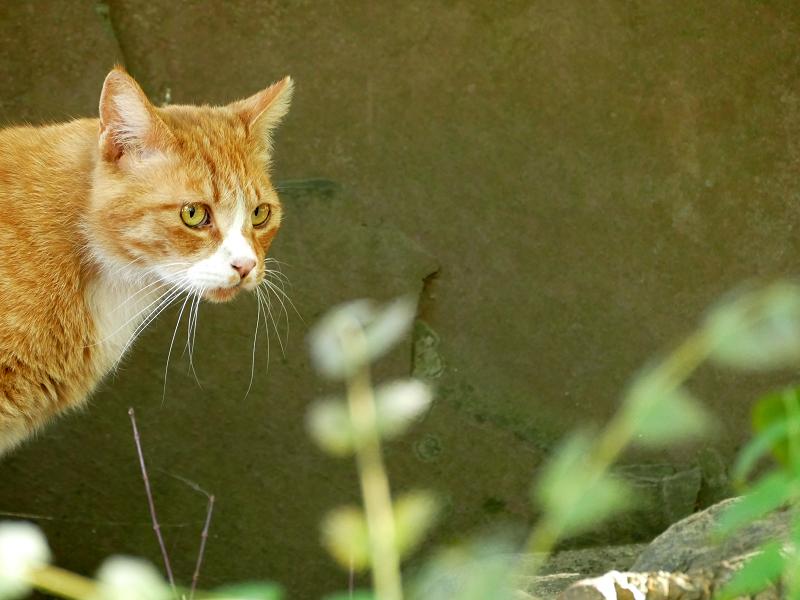 古い神社の茶白猫2