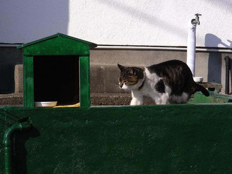 緑ハウスのキジ白猫1