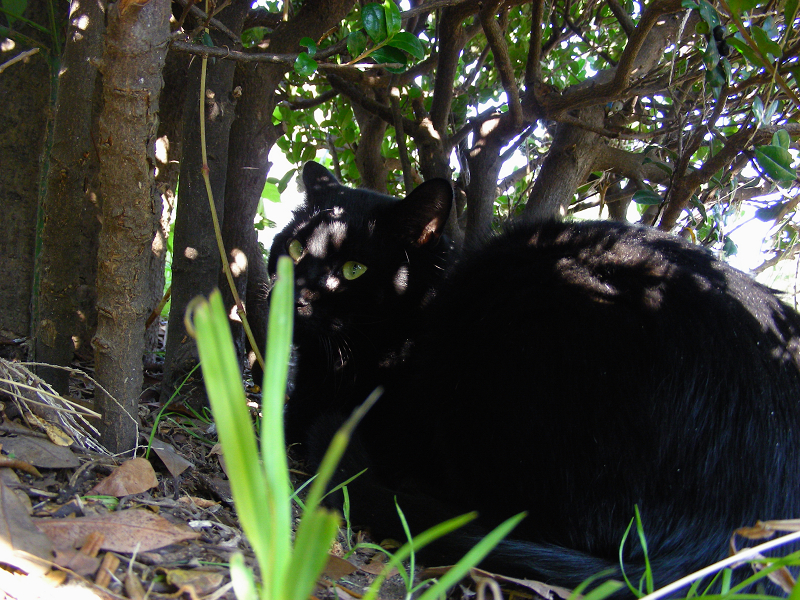 木漏れ日当たる黒猫1