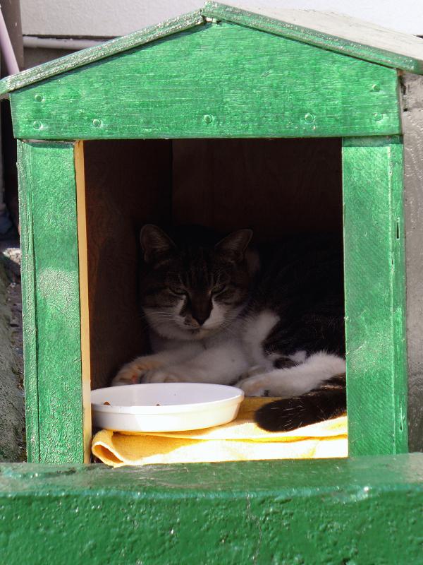 緑ハウスのキジ白猫3