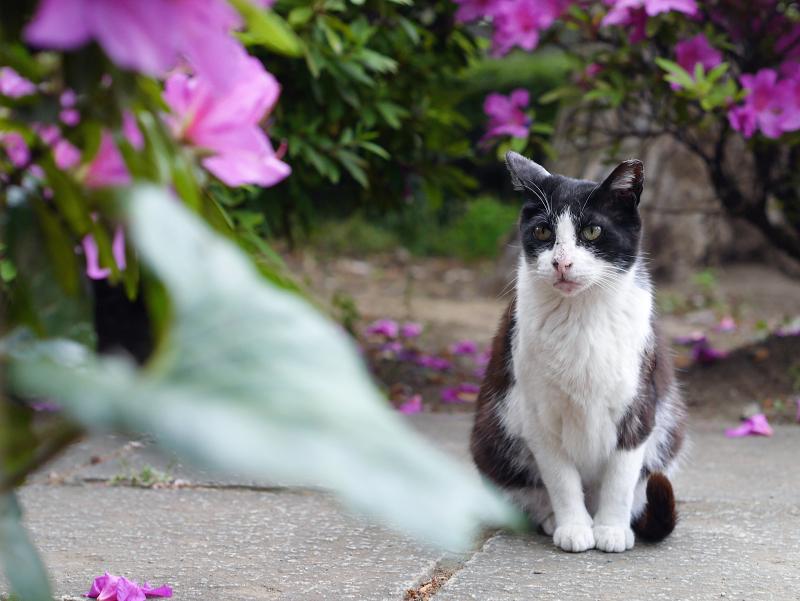躑躅と黒白猫