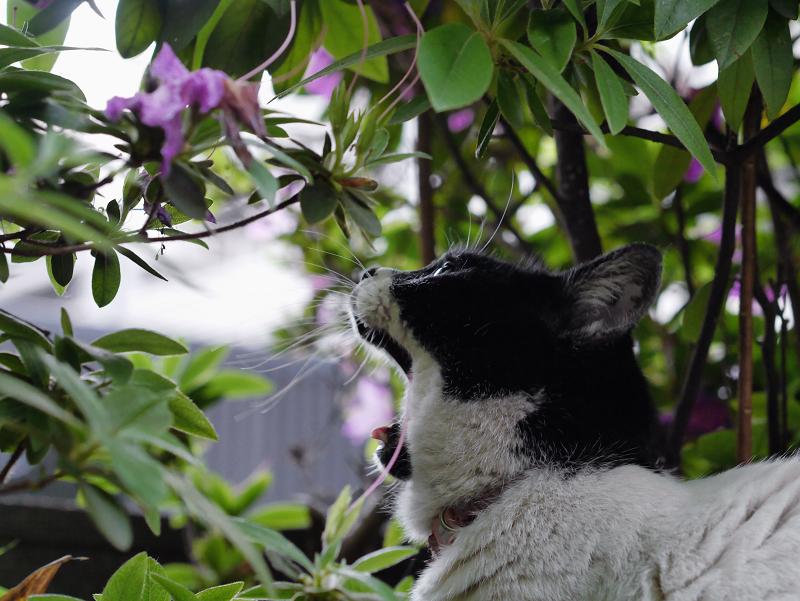 躑躅と白黒猫1