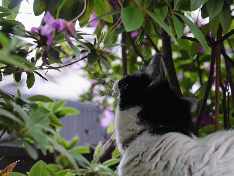 躑躅と白黒猫2