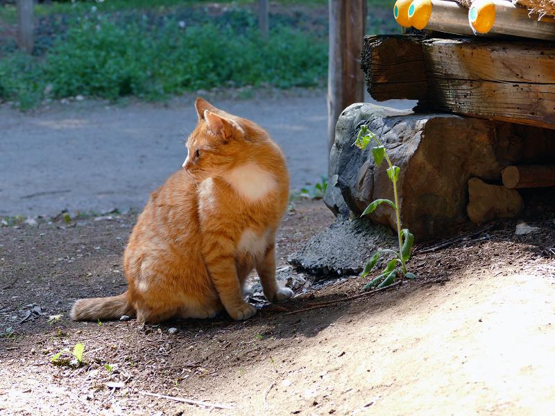 神社神域の茶白猫1