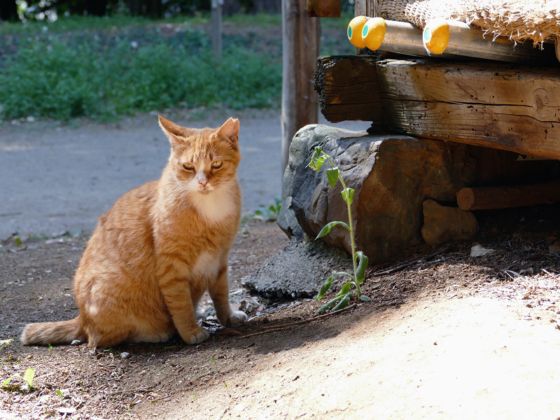 神社神域の茶白猫2