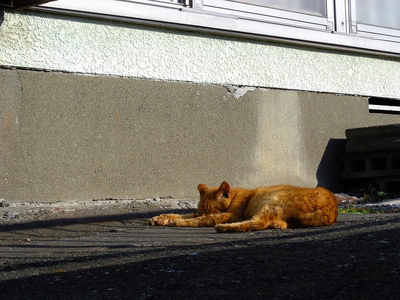 寝ている茶トラ猫1