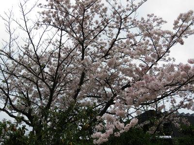 1 和白公園の桜