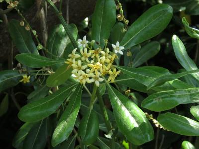 5トベラの花