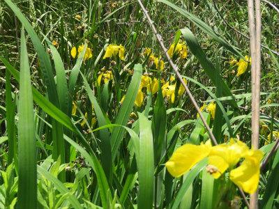 キショウブの花