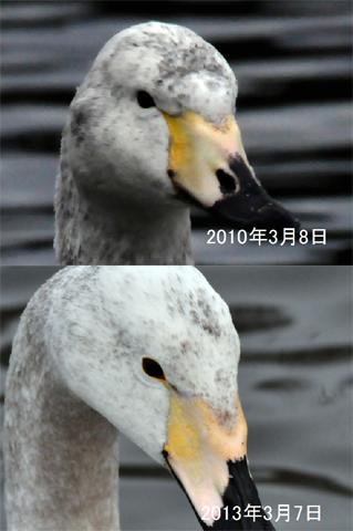 21オオハク 亜成鳥前期 c480