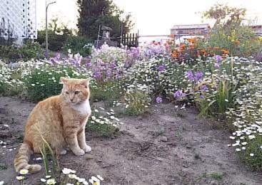 花が咲き乱れる庭の茶トラ白「とも」