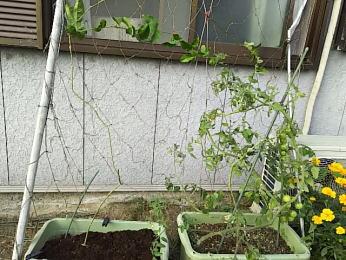 パッションフルーツの新しい苗(左)、実をつけたミニトマト(右)