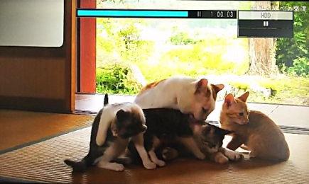 義経は子猫3匹の世話をします