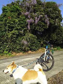 散歩道の藤の花とゴンタ2017年5月