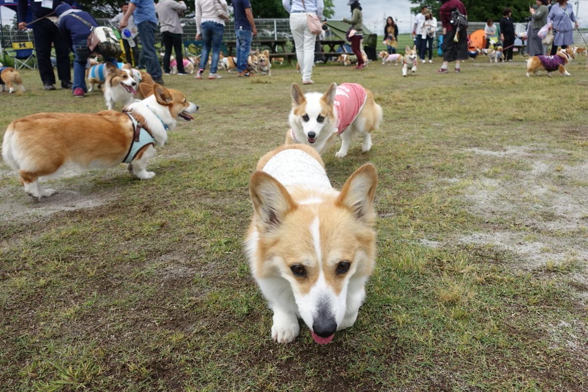 静岡deコーギー祭2017 4