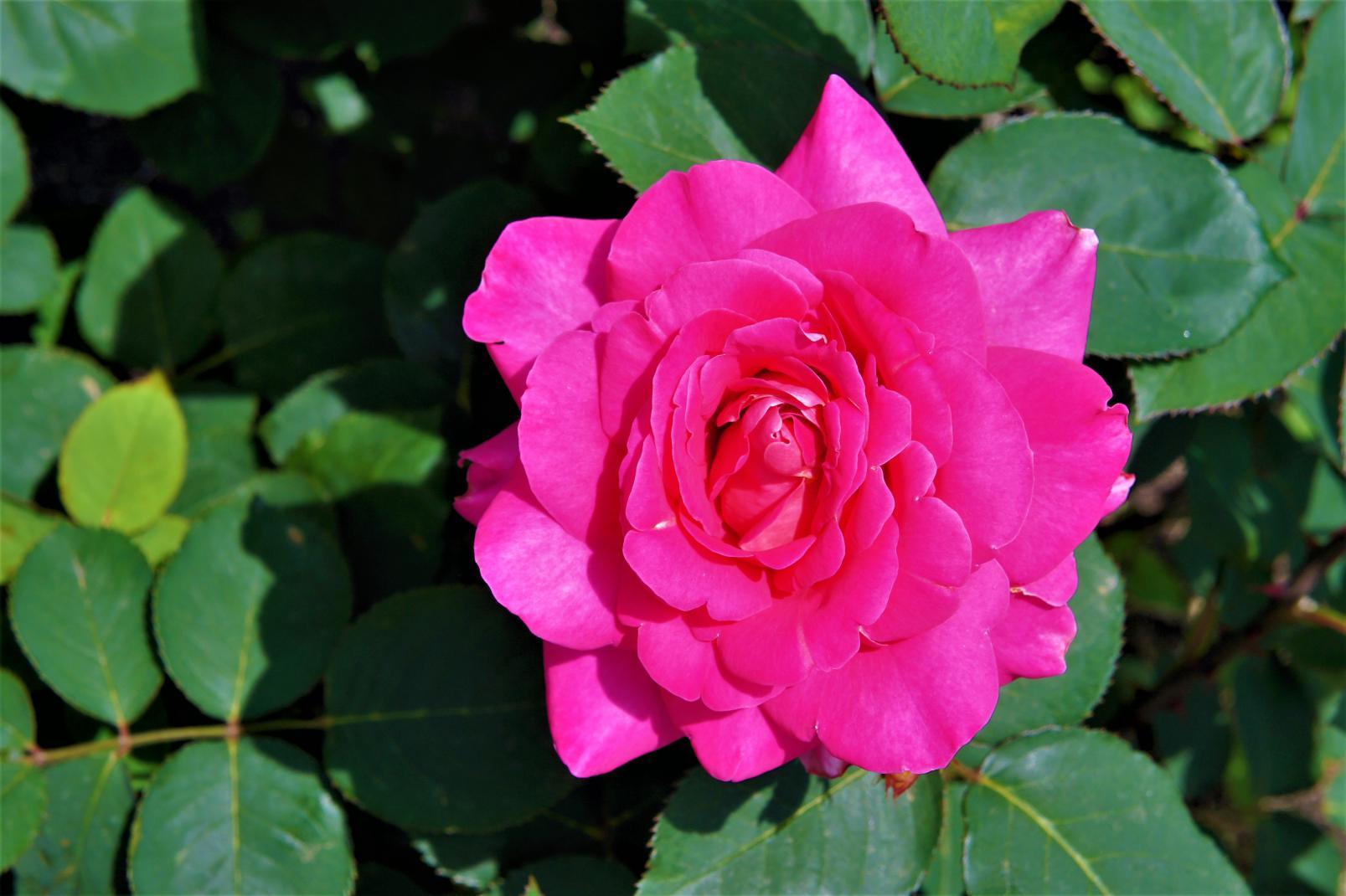 ⑤一輪のバラ