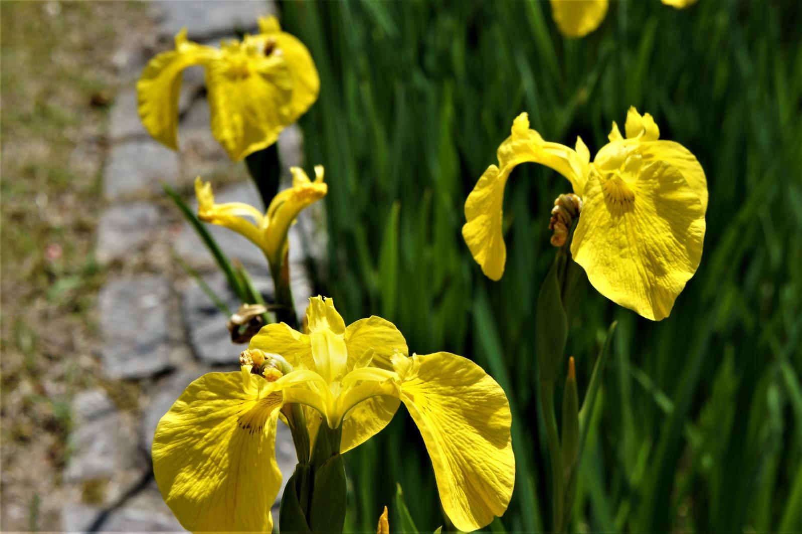 ⑥黄色の杜若