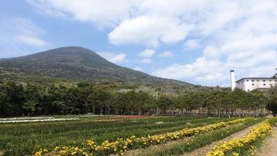 フリージア畑