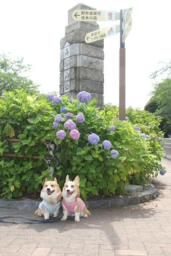 紫陽花1 2017-6-12-3