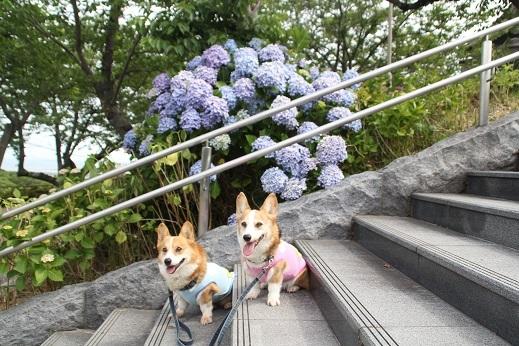 紫陽花1 2017-6-12-4
