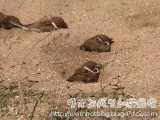雀の砂浴び03