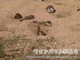 雀の砂浴び04