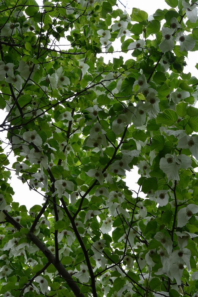 ハンカチの木(はんかちのき)