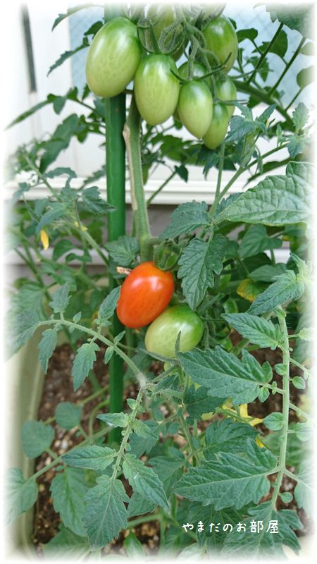 赤くなってきた!トマト