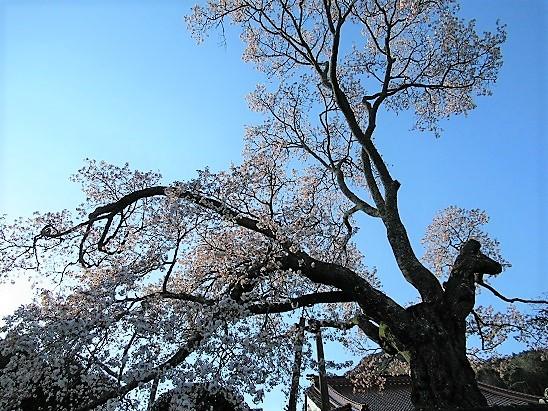 西宗寺の大山桜