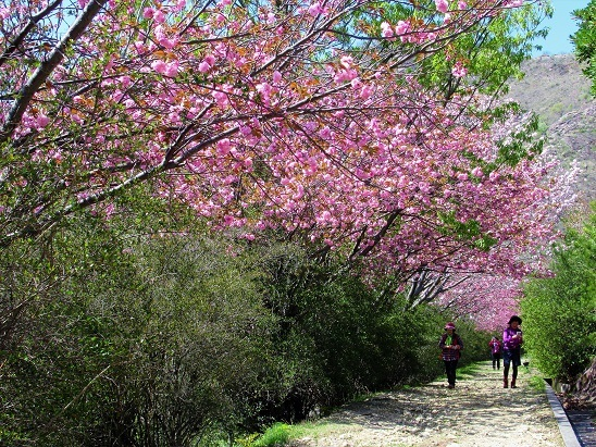 10須磨アルプス桜並木