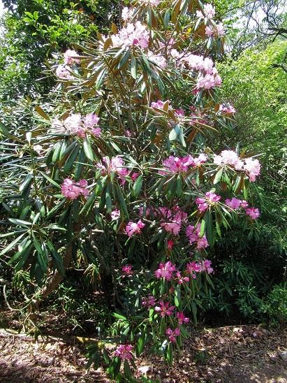 シャクナゲ咲く