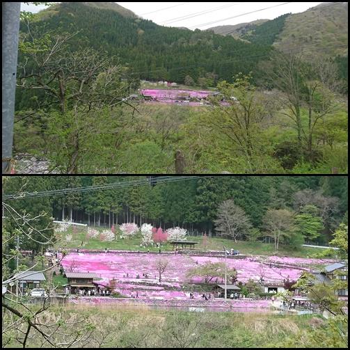 031 芝桜