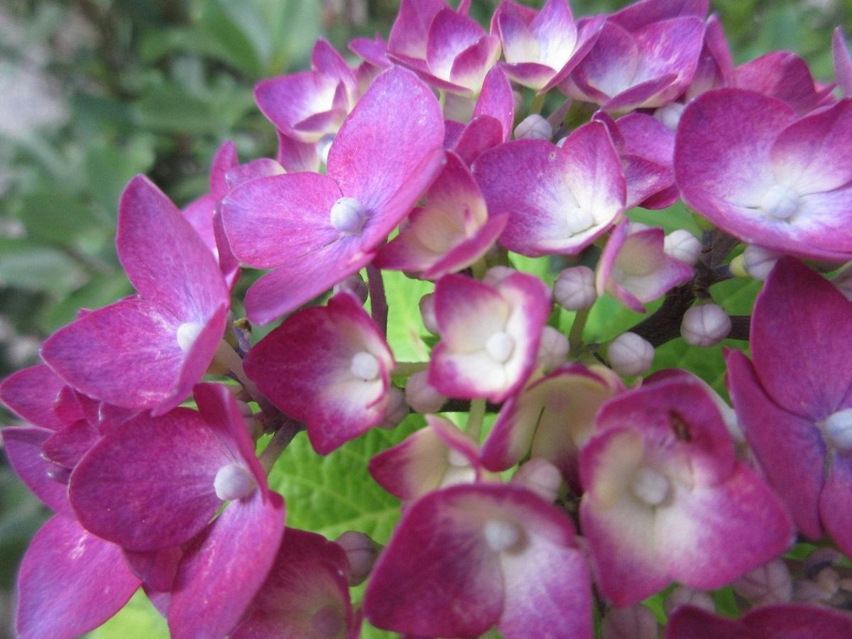 IMG_2344紫陽花