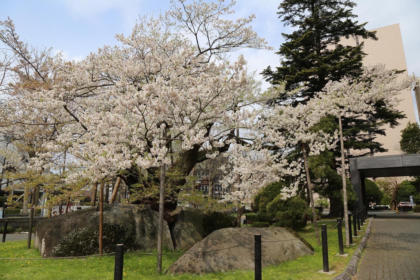 石割桜 1