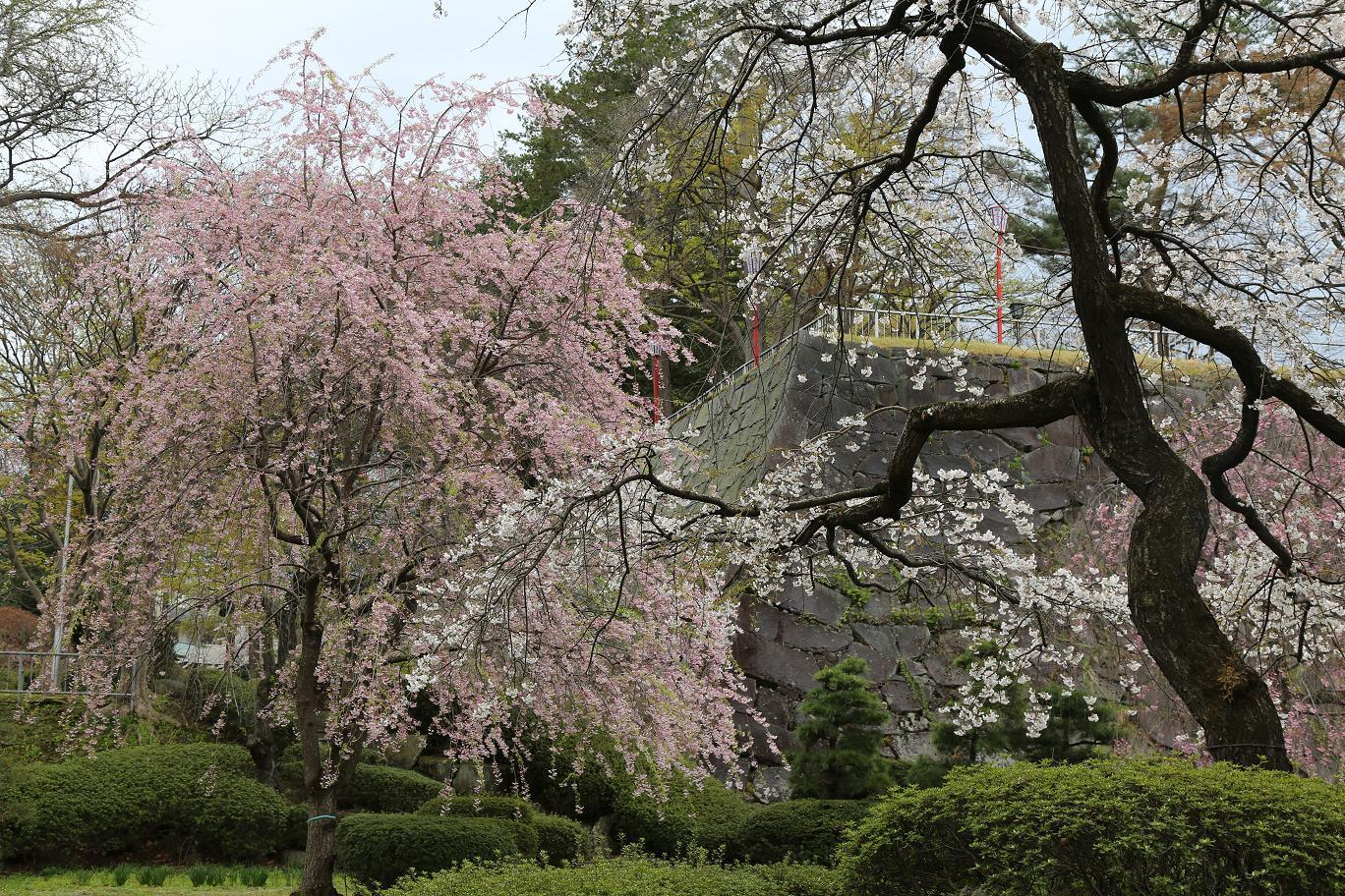 盛岡城址桜2