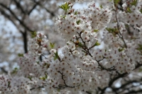 角舘 桜2