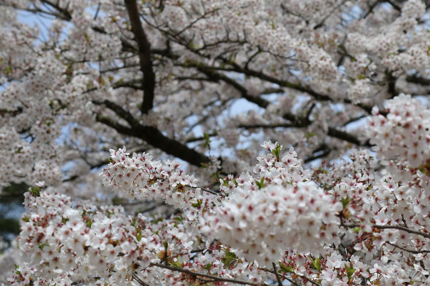 角舘 桜5