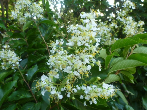 ヤクシマサルスベリの花