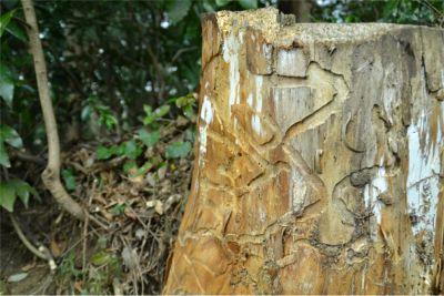 樹木の虫食い跡