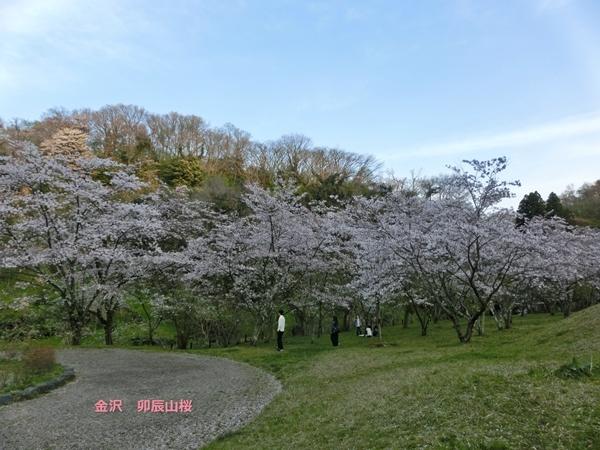 卯辰山桜1