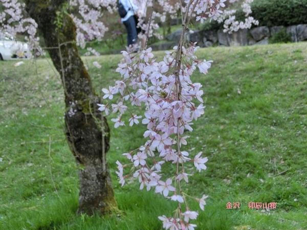 2卯辰山桜