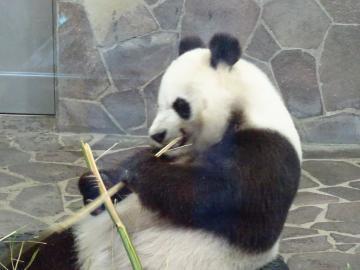 2017年5月21日 神戸市立王子動物園 タンタン