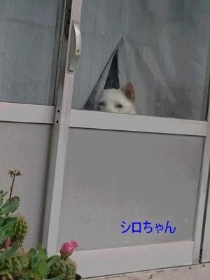 シロちゃん