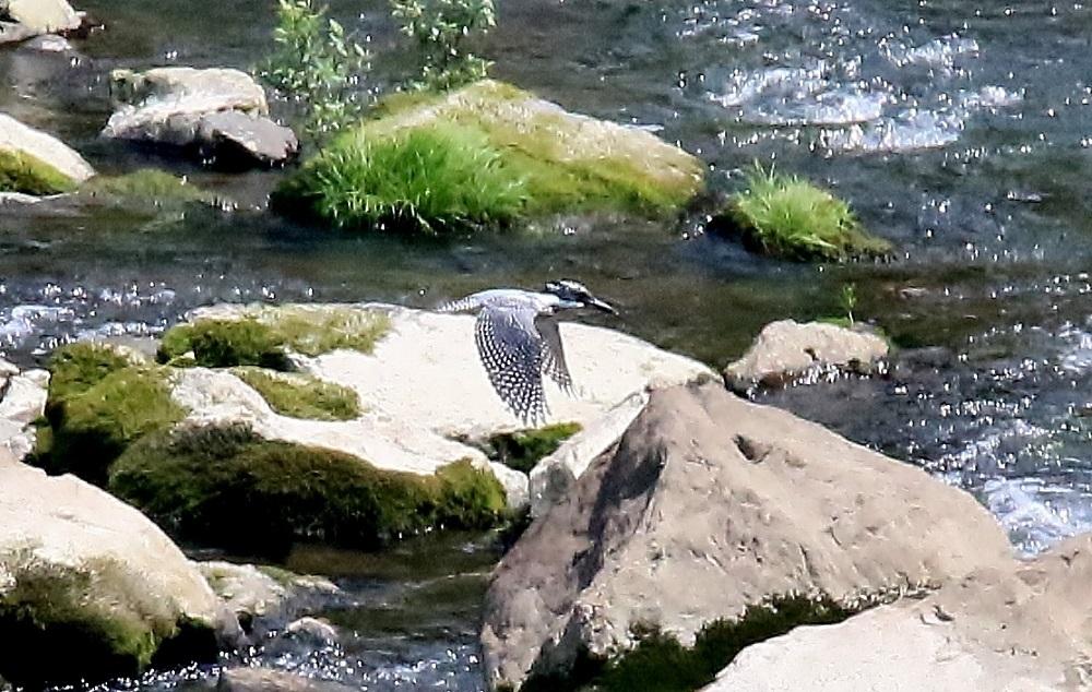 撮り置きのヤマセミ(四万十川)