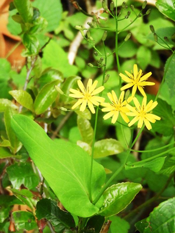 ハナニガナ(花弁7~11)