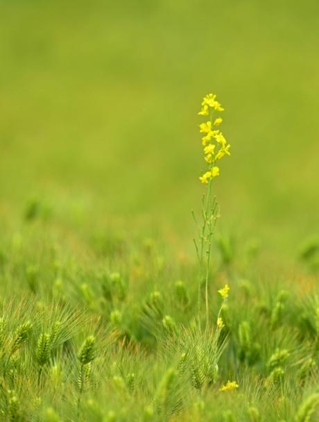 11642-菜の花と麦