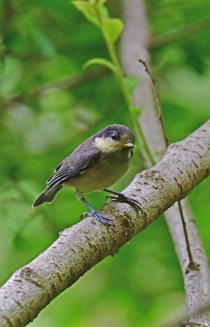 11959-ヤマガラ幼鳥-1