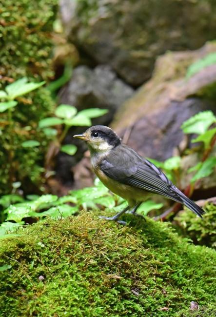 11963-ヤマガラ幼鳥-5