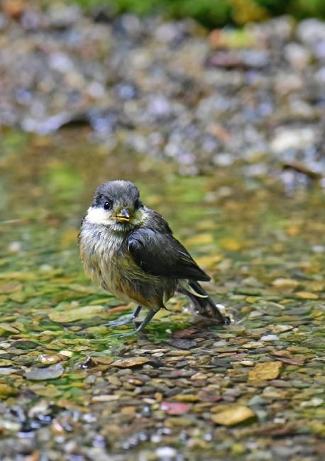 11965-ヤマガラ幼鳥-1